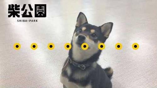 ドラマ「柴公園」メイン柴犬3匹インタビュー